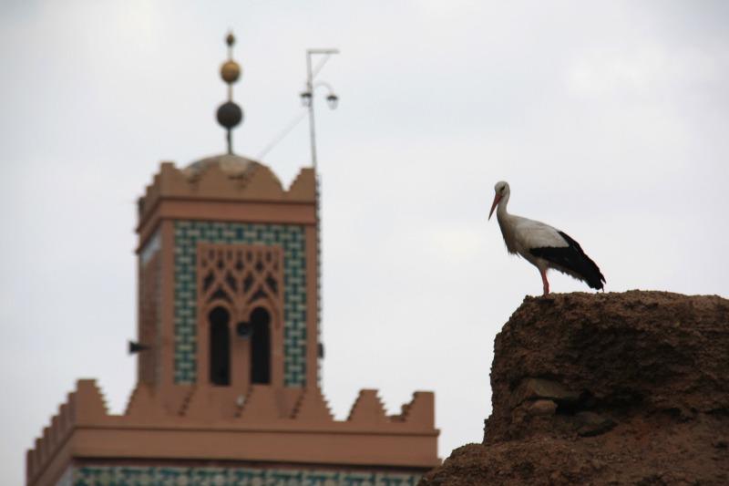 cigogne à Marrakech