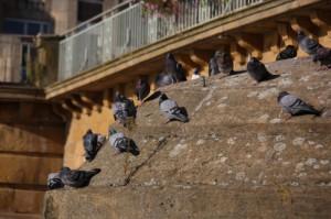 le repos des pigeons